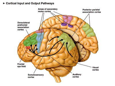 cortex-parietal-posterior-derecho